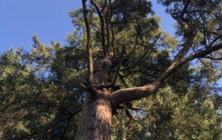 A large Douglas-fir