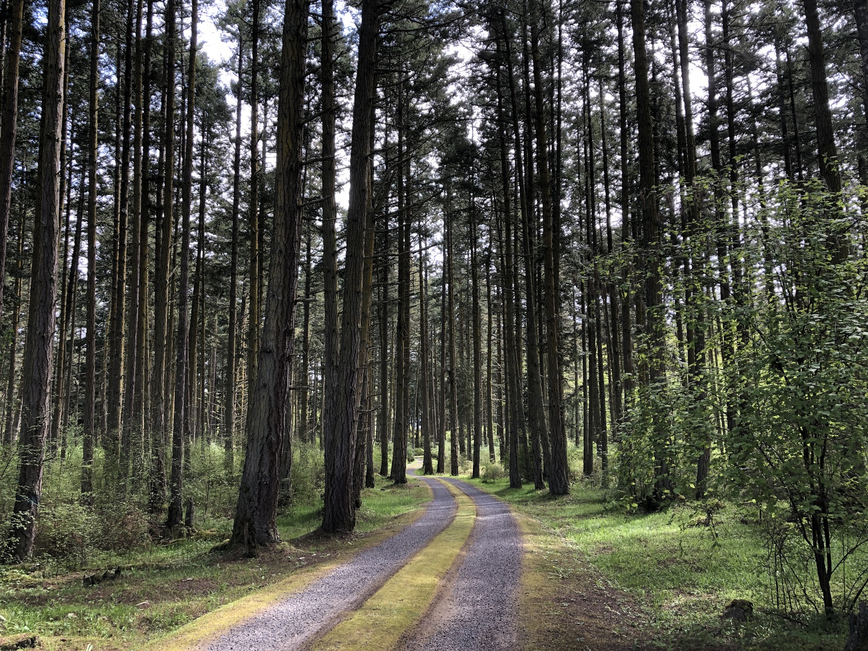 Image of a road through a forest of Douglas-fir